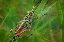 Florida Grasshopper by Marie Luise Strohmenger