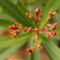 Oleanderknospen