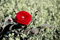 a rose for you by Loukas Dimitropoulos