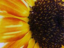 Wild Sunflower by Shelley Barrett