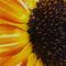 Wild-sunflower-3