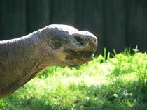 Morla - Riesenschildkröte von Kathrin Löbl