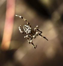 Araneus II von Daniel Sweet