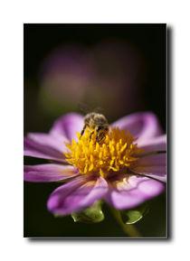 Biene auf der Dahlie by Miloslava Habermehl