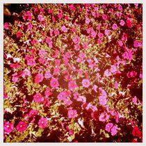 Magenta Blume von iulia-spin