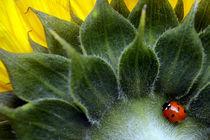 7-Spot Ladybird by Tamas Katai
