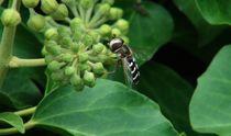 Fliege auf der Efeublüte by theresa-digitalkunst