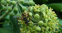 Fleisige Biene auf der Efeublüte von theresa-digitalkunst