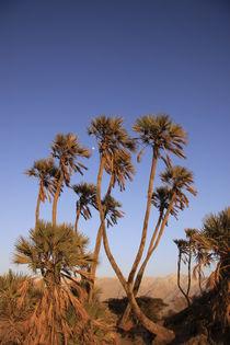 Arava desert, Doum Palm trees in Evrona by Hanan Isachar
