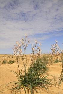 Israel, Negev, Common Asphodel flowers in the desert by Hanan Isachar