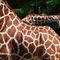 Giraffen-neu-2835