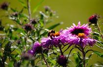 Biene von buellom