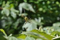 Yellow/Black Spider  by Carlo De Simone