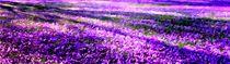 Krokusblüten Panorama von Eckhard Röder