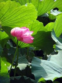 Loto Flower by Carlo De Simone