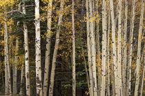 Aspen and Evergreens