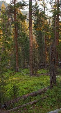 Diggles-w-sprucetreessunrise
