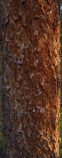 Red Spruce Bark Detail by Colorado Images