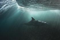 Ein Delfin an einem Riff in Westaustralien unter Wasser von Andy Fox