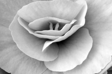 Begonia-white
