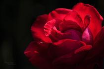Garden Rose by Maria Livia Chiorean