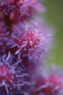 Blossom-by-jaanusj