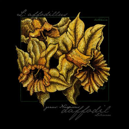 Cbeckusa-botanica1-daffodils