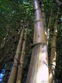 Bamboo Forrest von Jennifer Jenesis Photography