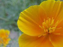 Flowering-the-poppy-by-jenesisphotography