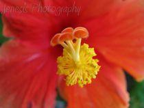 Hibiscus von Jennifer Jenesis Photography