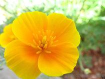 Poppy-by-jenesisphotography