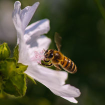 Bee on flower by ilja van de pavert