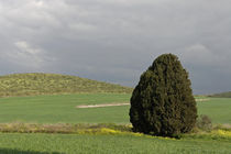 Israel, Cypress tree in Menashe Heights by Hanan Isachar