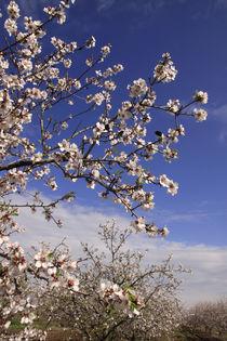 Israel, Almond trees in the Galilee  von Hanan Isachar