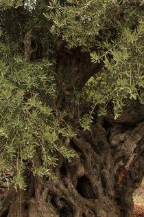 Galilee, Olive tree in Ein el Assad by Hanan Isachar
