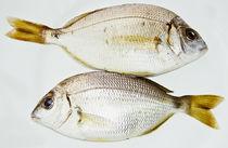 Douradas Fish by Pedro Celestino