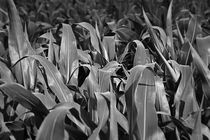 Corn by Tom Sroka