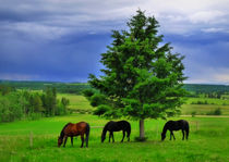 Grazing Horses  by Jackson Lane West