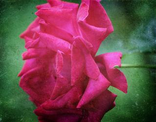 Rosegruen