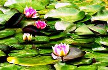 Blühende Seerosen von Juana Kreßner