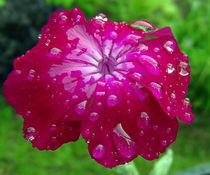 Blüte mit Wassertropfen von Simone Cuambe