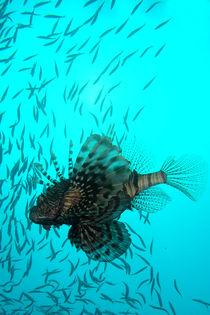 Scorpion fish von Lorenzo Parma