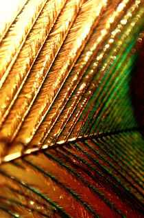 Feather-close-up