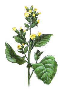 Tobacco plant - Nicotiana rustica by William Rossin