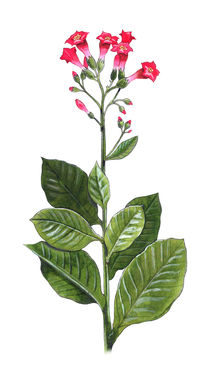 Tobacco plant - Nicotiana tabacum by William Rossin