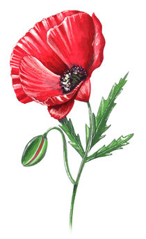 Poppy flower von William Rossin