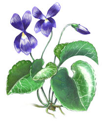 Violet flower von William Rossin