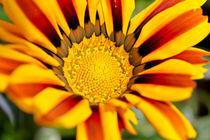 Stripey Orange Flower von Buster Brown Photography