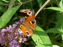 Butterfly by Grzegorz Stepnik