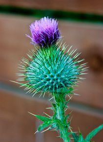 Scottish Thistle by Buster Brown Photography